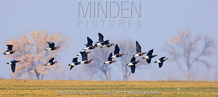 Red-breasted Goose (Branta ruficollis) flying over farmland, Bulgaria  -  David Tipling/ npl