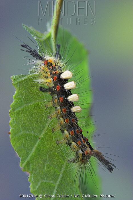 Rusty Tussock Moth (Orgyia antiqua) caterpillar on birch leaf, United Kingdom  -  Simon Colmer/ npl