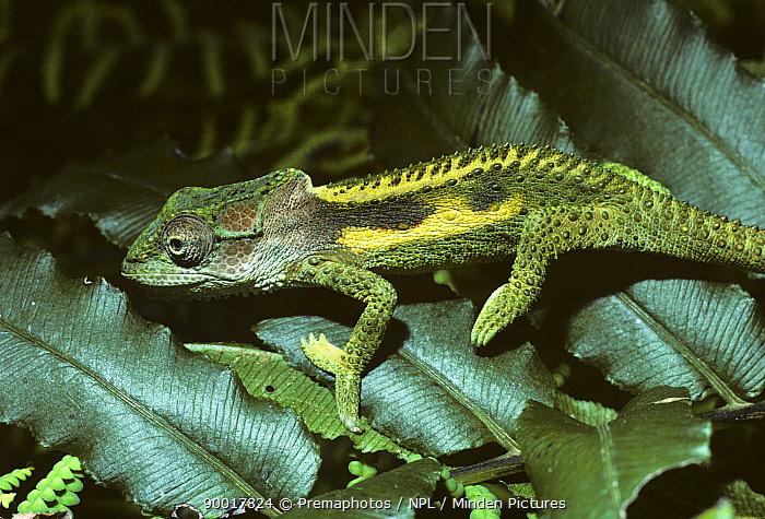 Dwarf cape chamaeleon (Bradypodion damaranum) in temperate rainforest, South Africa  -  Premaphotos/ npl