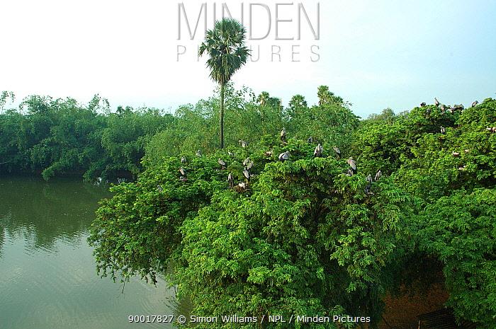 Open billed stork (Anastomus oscitans) colony, Jayanagar, West Bengal, India  -  Simon Williams/ npl