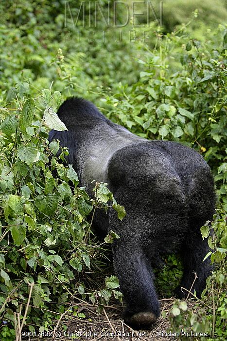 Mountain Gorilla (Gorilla gorilla beringei) dominant male silver back rear view disappearing into vegetation 2700 metres above sea level in Volcanoes National Park, Rwanda Short dry season, February  -  Christophe Courteau/ npl