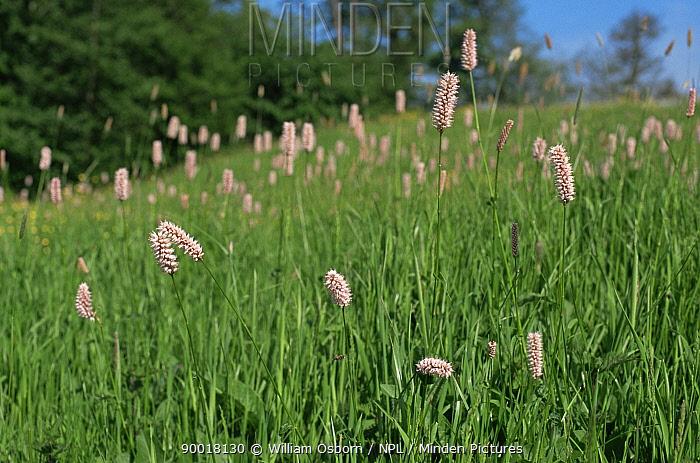 Bistort (Polygonum bistorta) flowering in meadow, Glos, UK  -  William Osborn/ npl