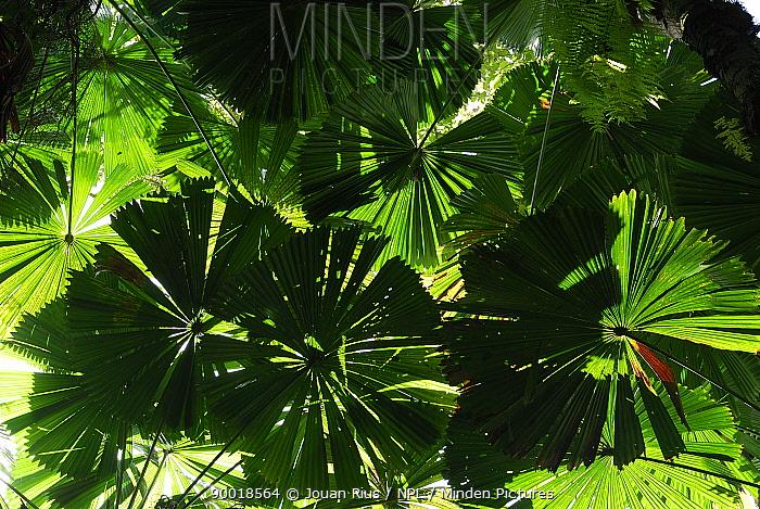 Licuala fan palm (Licuala ramsayi), Daintree National Park, Queensland, Australia  -  Jouan & Rius/ npl