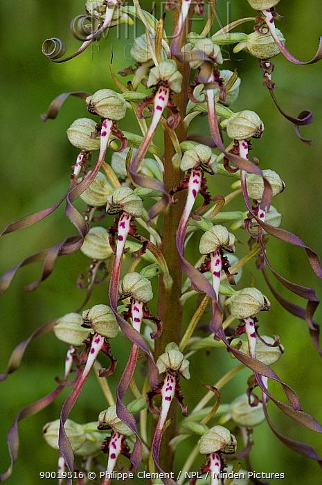 Lizard Orchid (Himantoglossum hircinum) in flower, La Brenne, France  -  Philippe Clement/ npl