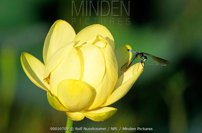 Blue Dasher (Pachydiplax longipennis) perched on American lotus flower (Nelumbo lutea) Welder Wildlife Refuge, Sinton, Texas  -  Rolf Nussbaumer/ npl