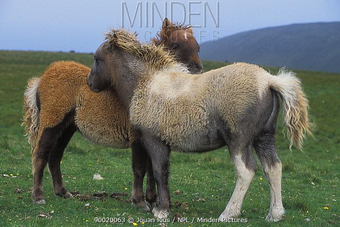Two Shetland ponies (Equus caballus) shedding their winter coats on the Isle of Foula, Shetland Islands, Scotland, UK  -  Jouan & Rius/ npl