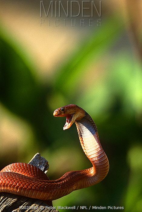 Red spitting cobra (Naja pallida) in defensive posture, Masai Mara, Kenya  -  Peter Blackwell/ npl