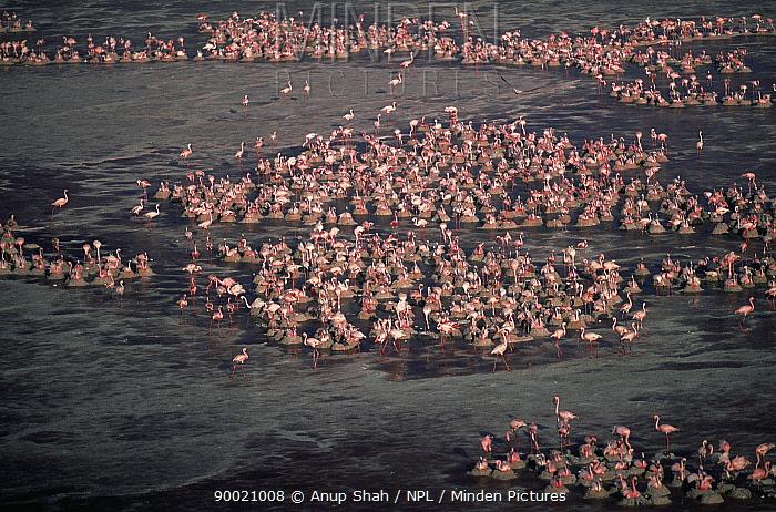 Aerial view of nesting Lesser Flamingos (Phoeniconaias minor) Lake Natron, Tanzania  -  Anup Shah/ npl