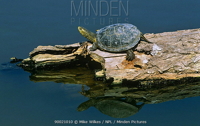 European Pond Turtle (Emys orbicularis) sunning itself on a log in Lesbos, Greece  -  Mike Wilkes/ npl