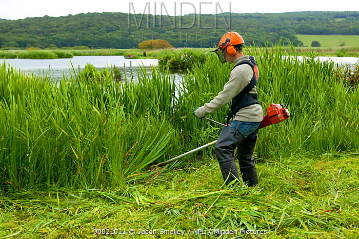Conservation volunteer brushcutting invasive vegetation from reedbeds at Leighton Moss reserve, Lancashire, UK  -  Jason Smalley/ npl