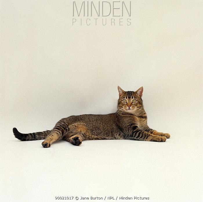 Domestic Cat (Felis catus) Agouti tabby male lying down  -  Jane Burton/ npl