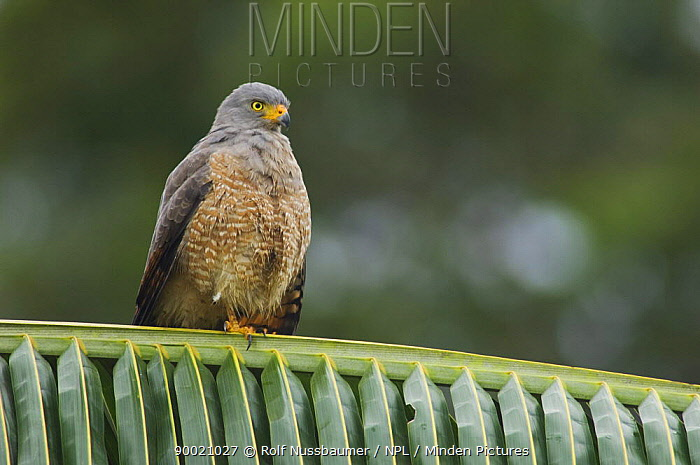 Roadside Hawk (Buteo magnirostris) perched on palm frond, Costa Rica  -  Rolf Nussbaumer/ npl