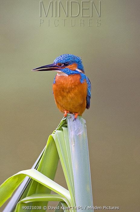 Common Kingfisher (Alcedo atthis) male sitting on Reeds, Buckinghamshire, England  -  David Kjaer/ npl