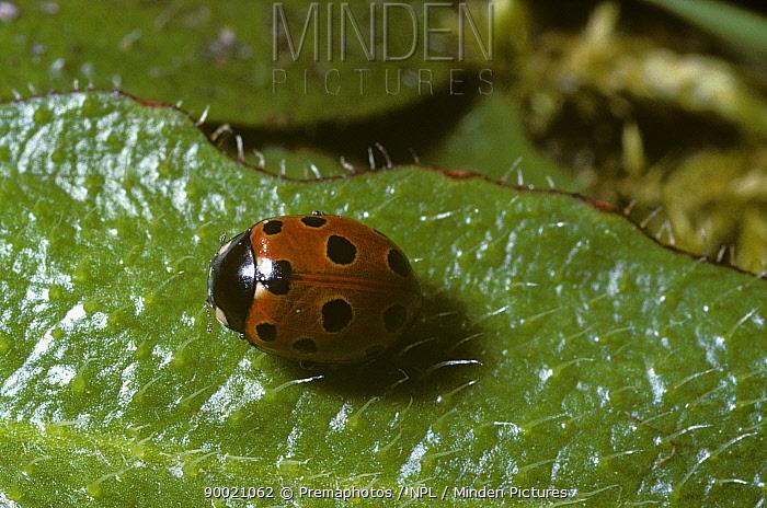 Eleven spot ladybird (Coccinella 11-punctata) basking in warm sun after coming out of hibernation, UK  -  Premaphotos/ npl