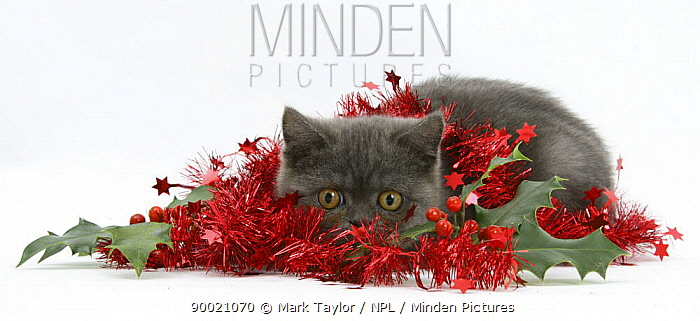 Domestic Cat (Felis catus)Grey kitten with christmas decorations, tinsel and holly berries  -  Mark Taylor/ npl
