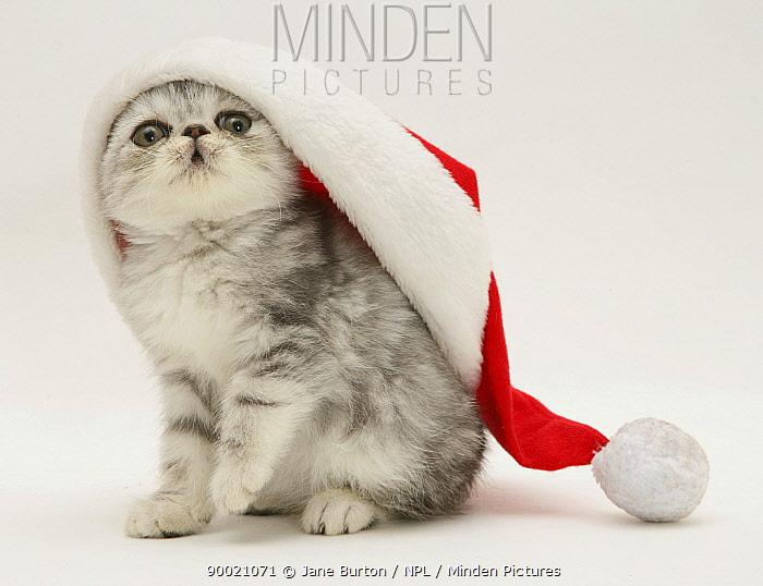 Domestic Cat (Felis catus)Silver tabby Exotic kitten wearing a Father Christmas hat  -  Jane Burton/ npl