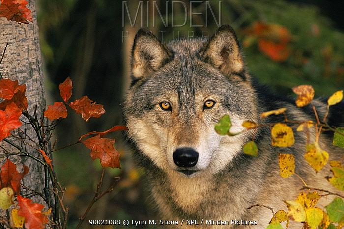 Grey wolf (Canis lupus) head, US, Captive  -  Lynn M. Stone/ npl