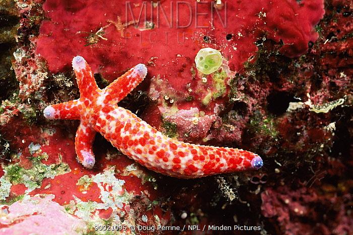 Sea star (Linckia multiflora) regenerating body from single arm, Palau, Micronesia  -  Doug Perrine/ npl