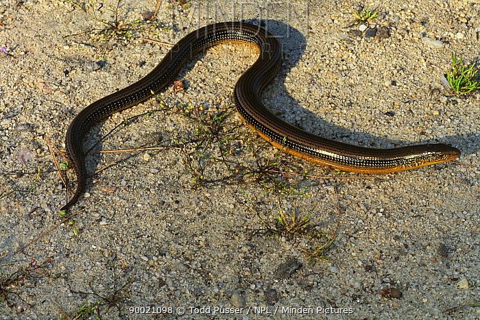 Eastern glass lizard (Ophisaurus ventralis) North Carolina, USA  -  Todd Pusser/ npl