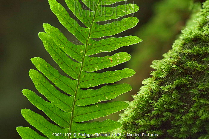 Common Polypody Fern (Polypodium vulgare) frond showing spores on underside, Belgium  -  Philippe Clement/ npl