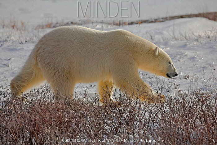 Polar Bear (Ursus maritimus) walking, Cape Churchill, Canada  -  T.J. Rich/ npl