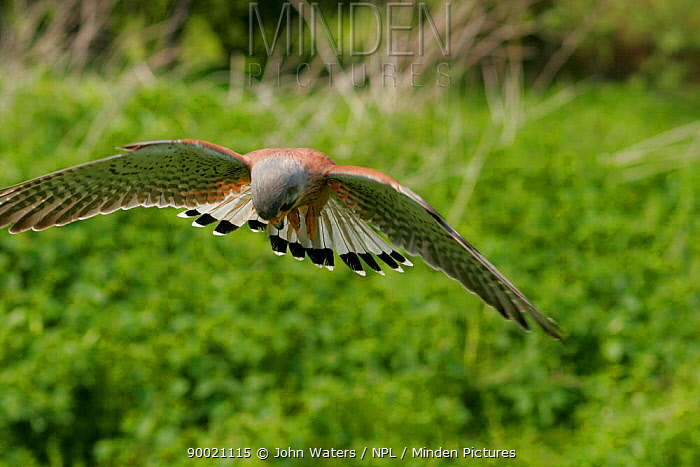 Eurasian Kestrel (Falco tinnunculus) male hovering in flight and looking downwards, captive, Somerset, United Kingdom  -  John Waters/ npl
