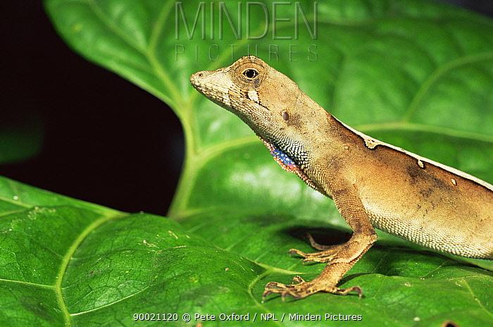 Anole lizard (Norops chrysolepis) on leaf, Amazonia, Ecuador  -  Pete Oxford/ npl
