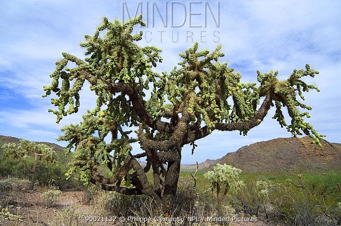 Jumping Cholla Cactus (Opuntia fulgida) tree Organ Pipe Cactus National Monument, Arizona  -  Philippe Clement/ npl