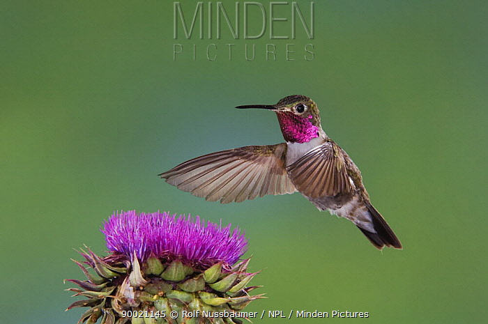 Broad-tailed Hummingbird (Selasphorus platycercus) male in flight feeding on Musk Thistle (Carduus nutans) Rocky Mountain National Park, Colorado  -  Rolf Nussbaumer/ npl