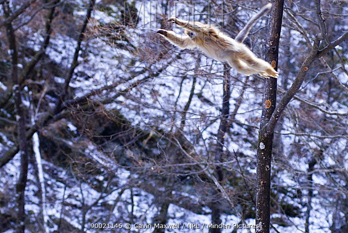 Golden Snub-nosed Monkey (Rhinopithecus roxellana) jumping between trees, Zhouzhe reserve, Qinling mountains, 06, China, 'Wild China' series  -  Gavin Maxwell/ npl