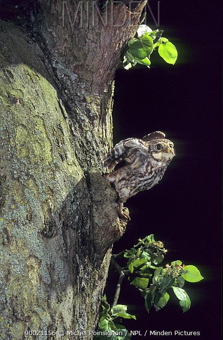 Little Owl (Athene noctua) coming out of nest hole, Lorraine, France  -  Michel Poinsignon & David Hackel