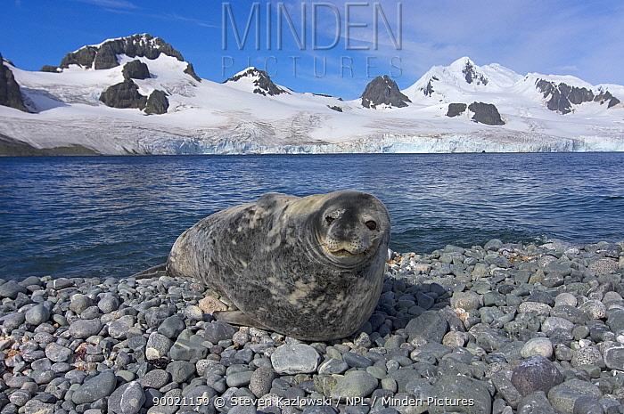 Weddell Seal (Leptonychotes weddellii) resting on a rocky beach along the western Antarctic Peninsula, Antarctica, Southern Ocean  -  Steven Kazlowski/ npl