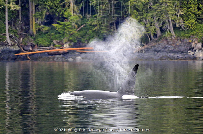 Orca (Orcinus orca) male surfacing in the Johnstone Strait, Vancouver Island, British Columbia, Canada  -  Eric Baccega/ npl