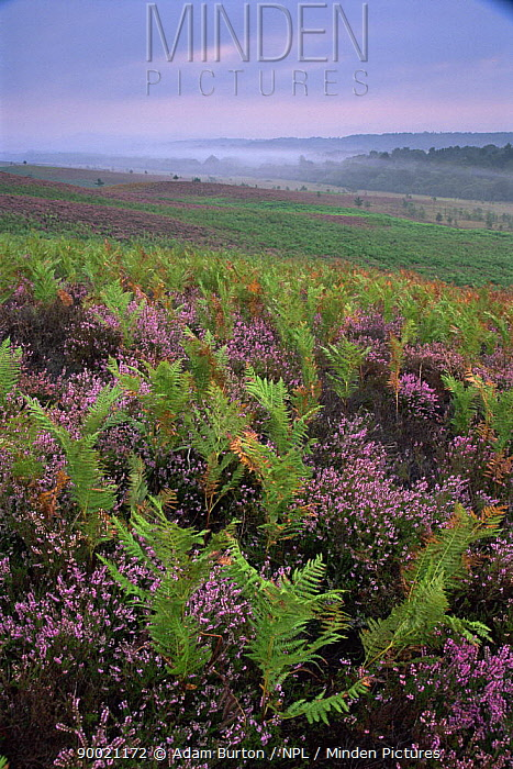 Heather (Calluna vulgaris) and Bracken (Pteridium aquilinum) heathland in the New Forest, Hampshire  -  Adam Burton/ npl