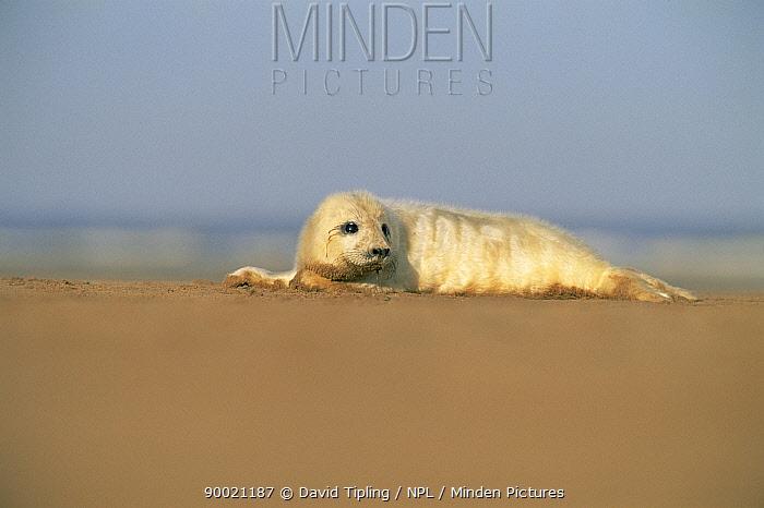 Grey Seal (Halichoerus grypus) pup on beach Lincolnshire, England, United Kingdom  -  David Tipling/ npl