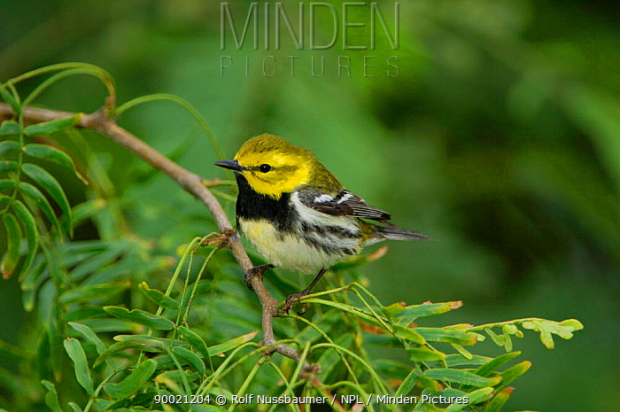 Black-throated Green Warbler (Dendroica virens) male, Texas  -  Rolf Nussbaumer/ npl