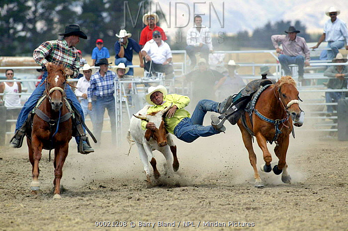 Steer Wrestling, Wanaka Rodeo, Wanaka, New Zealand  -  Barry Bland/ npl