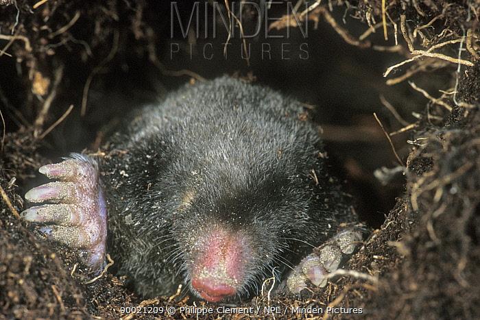 European Mole (Talpa europaea) emerging from underground tunnel, Belgium, dead specimen  -  Philippe Clement/ npl