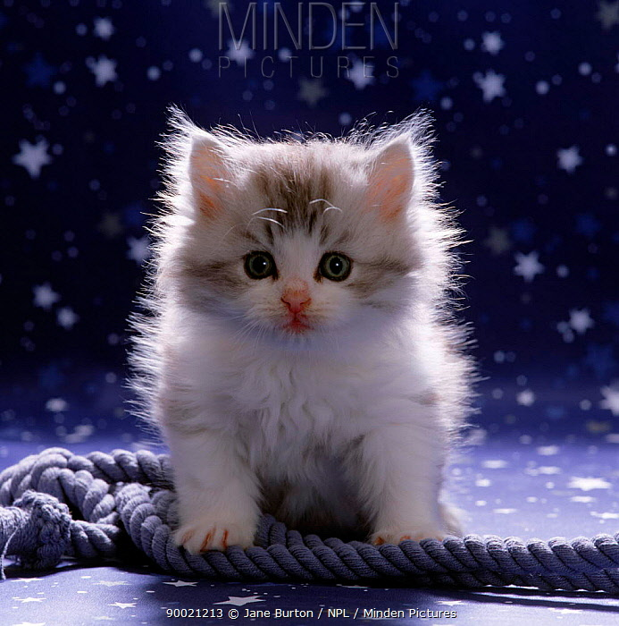 Domestic Cat (Felis catus) 7-week fluffy Silver and white kitten  -  Jane Burton/ npl