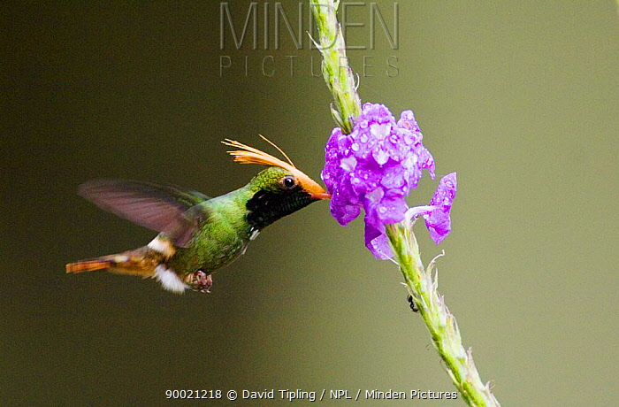 Male Rufous-crested Coquette (Lophornis delattrei lessoni) feeding from flower, El Valle, Panama  -  David Tipling/ npl