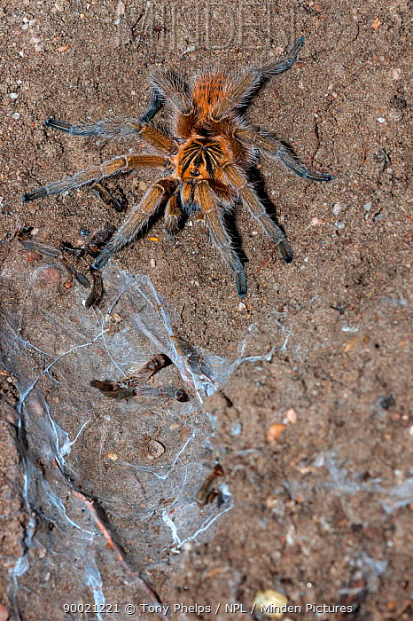 Cape orange baboon spider (Harpactira cafreriana) freshly moulted next to silken burrow, DeHoop Nature Reserve, Western Cape, South Africa  -  Tony Phelps/ npl
