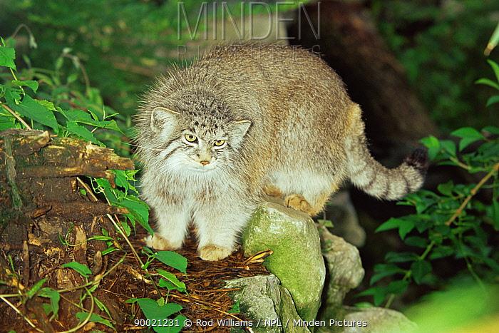 Pallas' Cat (Felis manul) male, captive, from Asia  -  Rod Williams/ npl