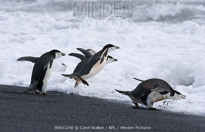 Chinstrap Penguin (Pygoscelis antarctica), adults jumping into surf Deception Island, Antarctica  -  Carol Walker/ npl