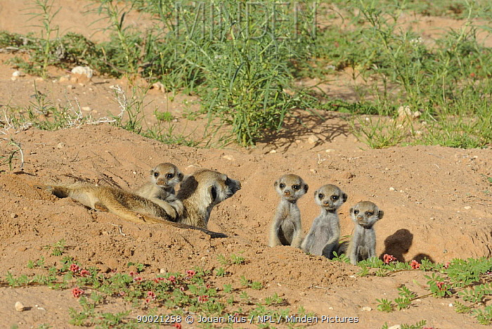 Meerkat (Suricata suricatta) family nursery, one adult and four young, Kgalagadi Transfrontier Park, Kalahari desert, South Africa  -  Jouan & Rius/ npl