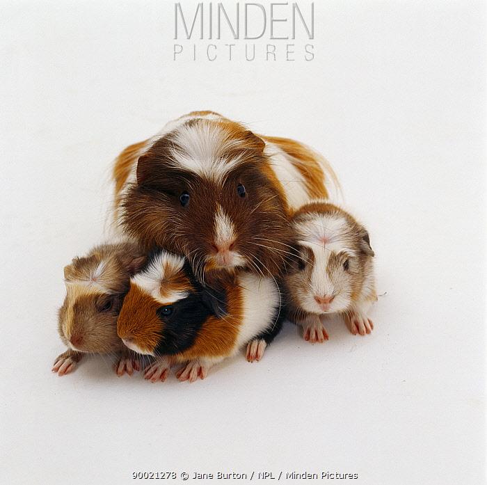 Guinea Pig (Cavia porcellus)Female crested Guinea pig with three one-day babies  -  Jane Burton/ npl
