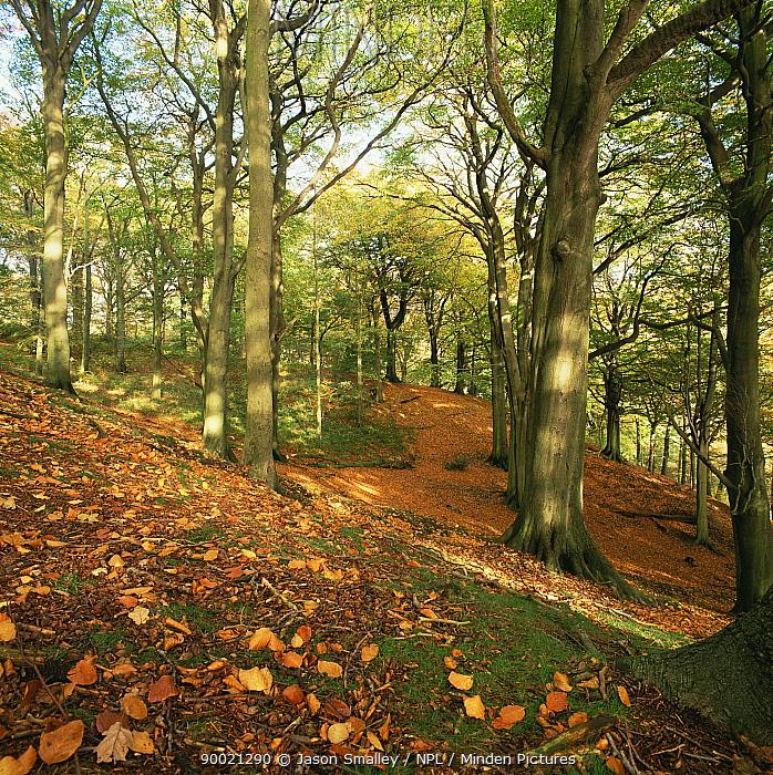 European Beech (Fagus sylvatica) woodland, Lancashire, United Kingdom  -  Jason Smalley/ npl