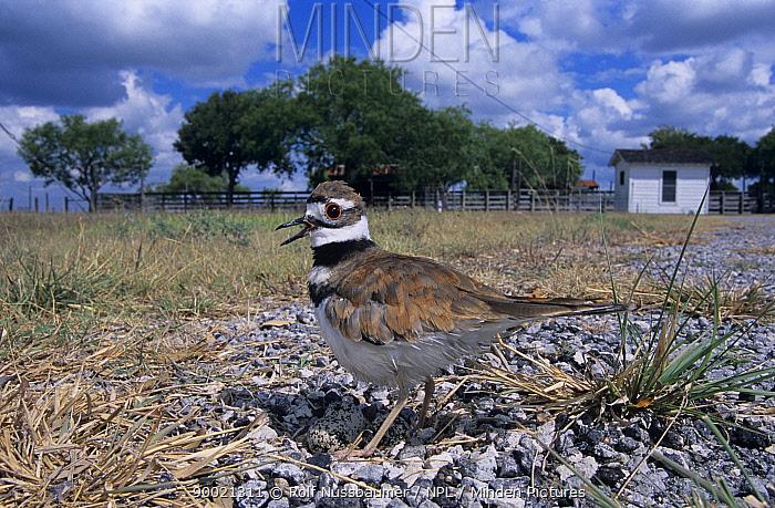 Killdeer (Charadrius vociferus) shading eggs on nest from the sun, Welder Wildlife Refuge, Sinton, Texas  -  Rolf Nussbaumer/ npl