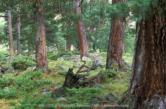 Ancient boreal pine forests of the Caucasus Mountains, with (Pinus kochiana), Elbrus Mt Area, Prielbrusye NP, Karachayevo Chekessiya, Russia  -  Konstantin Mikhailov/ npl