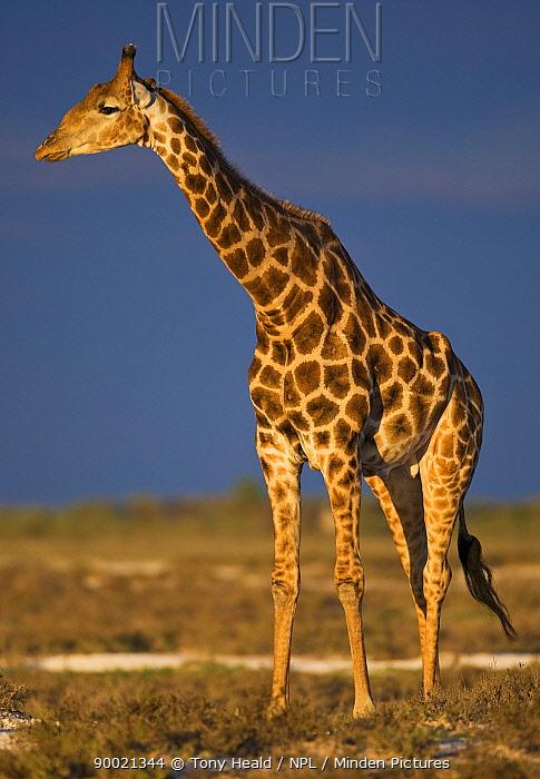 Giraffe (Giraffa camelopardalis) portrait at sunset, Etosha National Park, Namibia  -  Tony Heald/ npl
