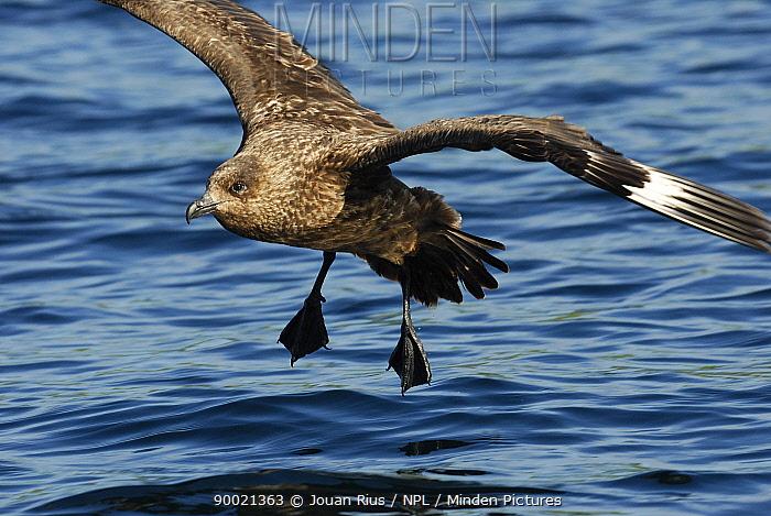 Great Skua (Catharacta skua) landing on sea, Shetland Islands, Scotland United Kingdom  -  Jouan & Rius/ npl